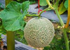 Zakończenie w górę świeżych zielonych melon sieci, rockowi melonowi owoc lub kantalupa melony z liściem zasadza dorośnięcie w szk zdjęcia royalty free