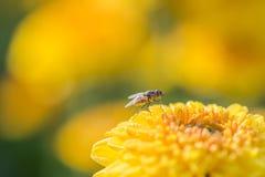 zakończenie w górę żółtego kwiatu i komarnica abstrakta tła Obrazy Stock