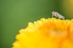 zakończenie w górę żółtego kwiatu i komarnica abstrakta tła Zdjęcie Royalty Free