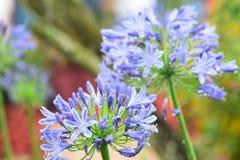 Zakończenie w górę agaphantus kwitnie beuty chłodno i świeżego Obrazy Stock