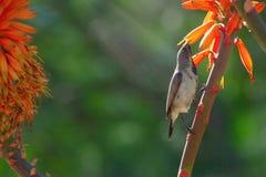 Zako?czenie w g?r? aloesu pomara?czowego kwiatu ptaka na zielonym tle i zdjęcia stock