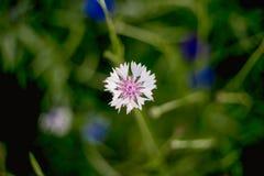Zakończenie - w górę białego chabrowego kwiatu na zamazanym tle obraz royalty free