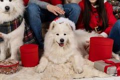 Zakończenie w górę białych ślicznych samoed psów w Santa kapeluszu zdjęcia stock