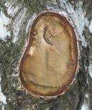 Zakończenie w górę brzozy drzewa gnarl korowatego naturalnego tło obrazy royalty free