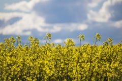 Zakończenie w górę Canola kwitnie na gospodarstwie rolnym w Caledon, Zachodni przylądek, Południowa Afryka zdjęcie stock