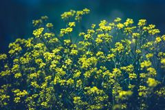 Zakończenie w górę colza koloru żółtego kwitnie z rozmytym tłem dzie? motyliego trawy sunny swallowtail lata kosmos kopii obrazy stock