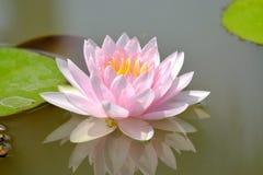 Zakończenie w górę cukierki menchii lotosowego kwiatu okwitnięcia w jeziorze zdjęcie royalty free