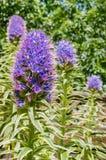 Zakończenie w górę dumy madery Echium Candicans kwiat, Kalifornia zdjęcie royalty free
