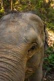 Zakończenie w górę głowy strzelał Azjatycki słoń zdjęcia stock