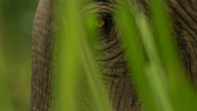 Zakończenie w górę Indiańskiego słonia oczu, Kaziranga park narodowy, Assam, India fotografia royalty free
