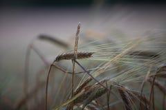 Zakończenie w górę jęczmiennej kukurudzy uprawy pola w Hampshire UK fotografia stock