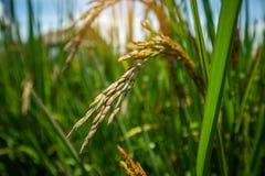 Zakończenie w górę jaśminowego ryżu gospodarstwa rolnego, bujny zieleni liści i irlandczyka folwarczka, zdjęcia stock