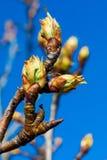 Zakończenie-w górę jabłczany pączek i pączek rosnąć na jabłoń Reineta rozmaitość owocowy drzewo obraz stock