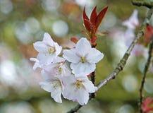 Zakończenie w górę jaskrawego białego jabłczanego okwitnięcia kwitnie w świetle słonecznym na zamazanym natury tle zdjęcie royalty free