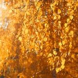 Zakończenie w górę jesieni branche drzewo z żółtymi liśćmi Fotografia Royalty Free