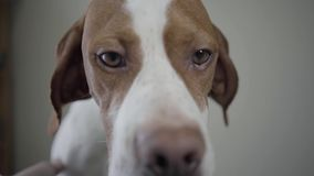Zakończenie w górę kagana smutny pointeru pies z brązów punktami patrzeje w kamerze Ręka mężczyzna migdali uroczego psa z zbiory wideo