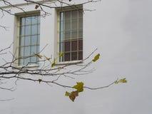 Zakończenie w górę klonowej gałąź z few kolorów żółtych liśćmi tylko opuszczał na b obrazy royalty free