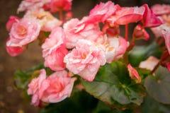 Zakończenie w górę kolorowych róż z wody kroplą w ogródzie zdjęcia stock