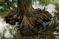 Zakończenie w górę korzenia wielki drzewo na wodzie mała rzeka kryształ - jasna woda zdjęcie royalty free