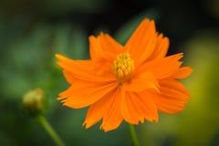 Zakończenie w górę kosmosu kwiatu Zdjęcie Royalty Free