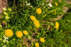Zakończenie w górę kwitnącego żółtego dandelion kwitnie Taraxacum officinale w ogródzie przy wiosna czasem fotografia royalty free