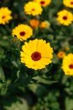 Zakończenie w górę kwitnącego koloru żółtego kwitnie tło przy baleronu Rong góry parkiem w Sa Pa, Wietnam Zdjęcia Royalty Free