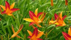 Zakończenie w górę kwitnącej lelui kwitnie w słonecznym dniu obraz royalty free