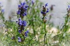 Zakończenie-w górę leczniczy roślina mędrzec lub Szałwia błękitny obrazy royalty free