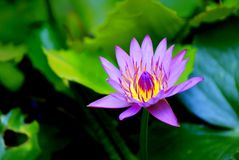Zakończenie w górę lotosowego kwiatu kwitnie w ogródzie zdjęcie royalty free