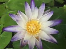 Zakończenie w górę lotosu: Krajowy kwiat Zdjęcie Stock