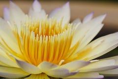 Zakończenie w górę Lotosu kwiatu Zdjęcia Stock