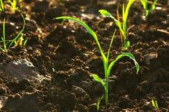 zakończenie w górę młodej zielonej kukurudzy rozsady r z światłem słonecznym Obrazy Stock