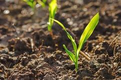zakończenie w górę młodej zielonej kukurudzy rozsady r z światłem słonecznym w culti Zdjęcie Stock