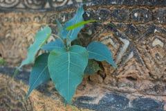 Zakończenie w górę Małych potomstw Zielonego drzewnego przyrosta na starej ścianie, Bodhi drzewo fotografia royalty free