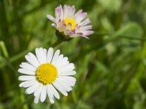 Zakończenie w górę makro- dwa małych stokrotki Bellis perennis kwitnie różowych ands zdjęcie royalty free