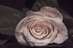 Zakończenie w górę makro- strzału biała róża, valentine tło z wodnymi kroplami Zdjęcie Royalty Free