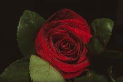 Zakończenie w górę makro- strzału róża, valentine tło z wodnymi kroplami Obraz Stock