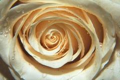 Zakończenie w górę makro- strzału róża, valentine tło z wodnymi kroplami Obrazy Stock
