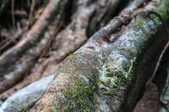 zakończenie w górę makro- strzału selekcyjnej ostrości duży drzewo korzeń z niektóre m zdjęcie stock
