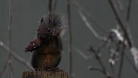 Zakończenie w górę malutkiej wiewiórki je sosnowego rożek zdjęcie wideo