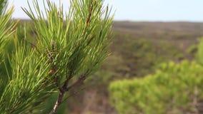 Zakończenie w górę materiału filmowego conifer gałązka podczas wietrznego dnia zbiory wideo