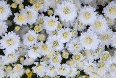 Zakończenie w górę odgórnego widoku Biali chryzantema kwiaty używa jako beautifu zdjęcia stock