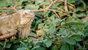 Zakończenie w górę ogromnej Zielonej iguany jest trwanie i odpoczywający na gałąź drzewo zdjęcie stock