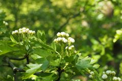 zako?czenie w g?r? okulizowanie g?ogowych kwiat?w z jaskrawym - zielona wiosna opuszcza przeciw wibruj?cemu nas?onecznionemu laso obrazy stock
