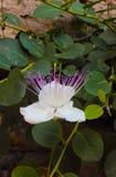 Zakończenie w górę pięknego bielu kaparu kwiatu zdjęcia royalty free