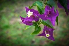 Zakończenie w górę Pięknej grupy purpurowi kwiaty zdjęcie stock