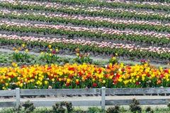 zakończenie w górę pięknych kolorowych tulipanów wiosłuje kwitnienie w plenerowym Gard Obraz Stock