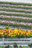 zakończenie w górę pięknych kolorowych tulipanów wiosłuje kwitnienie w plenerowym Gard Zdjęcie Royalty Free
