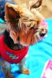 Zakończenie w górę portreta ładny słodki mały małego psa Yorkshire terier w żakiet sukni sukni plenerowych stojakach na ręczniku zdjęcie royalty free