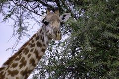 Zakończenie w górę portreta żyrafa fotografia stock